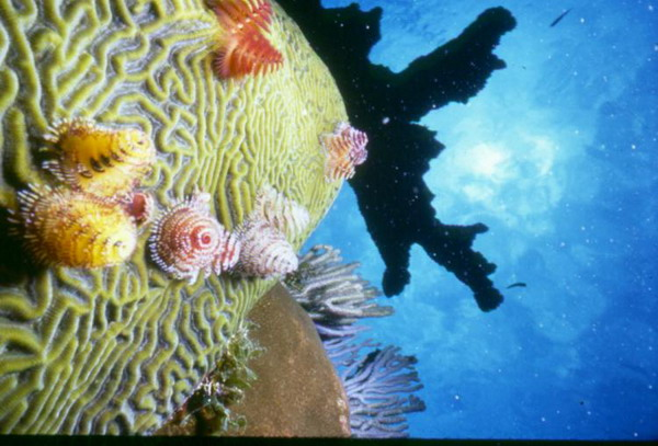 Черви с известковыми трубками на мозговидном коралле и коралл под названием «оленьи рога» в отдалении. Фото с сайта theepochtimes.com