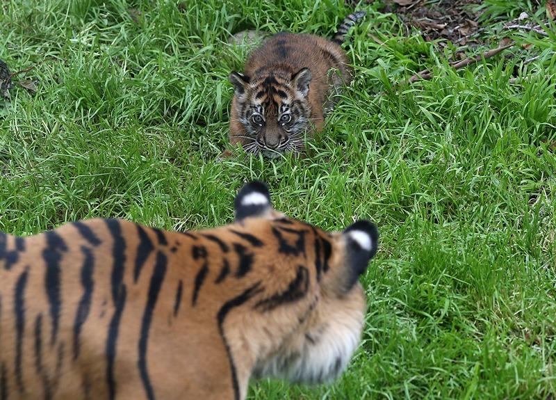 Тигриця Леанна з тигреням у зоопарку Сан-Франциско. Фото: Justin Sullivan/Getty Images