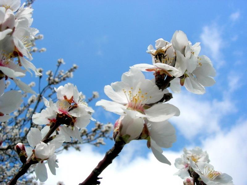 Мигдалем цвіте Крим. Фото: Алла Лавриненко/Велика Епоха