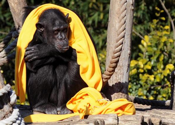 Шимпанзе защищает себя от холода шарфом. Римский зоопарк, 2 февраля 2010. Фото: TIZIANA FABI/AFP/Getty Images