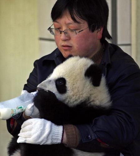 Работник Исследовательского Центра по изучению гигантских панд кормит детеныша большой панды. Фото: China Photos/Getty Images