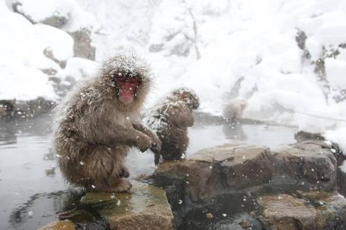 Японские макаки рядом с горячим источником (онсен), остров Хоккайдо, Япония. Фото: Koichi Kamoshida/Getty Images