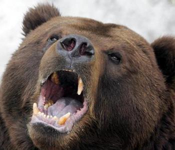 Фото: Бурий ведмідь/Getty Images