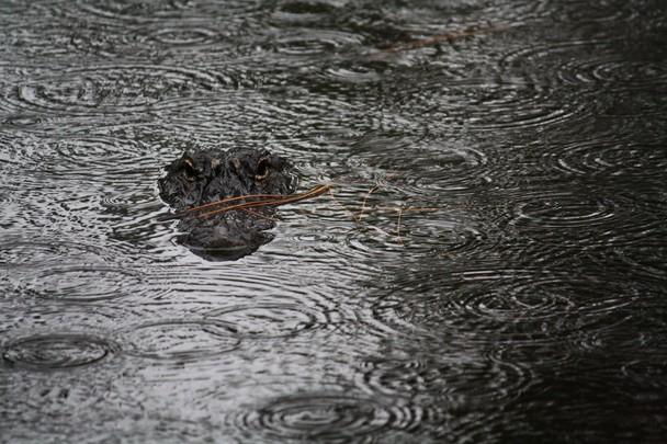 Алігатор під дощем. Острів Хілтон-Хед, штат Південна Кароліна, США. Фото: Kandace Stroupe/travel.nationalgeographic.com