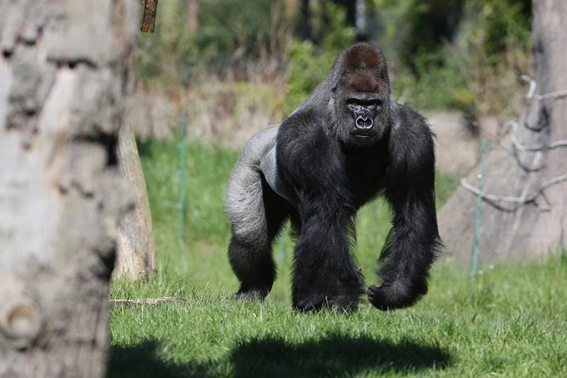 Горила Кумбука в Лондонському зоопарку. Фото: Oli Scarff/Getty Images