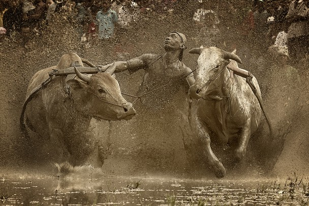 Гонки на биках по рисових полях. Острів Суматра, Індонезія. Фото: Fauzan Maududdin/travel.nationalgeographic.com