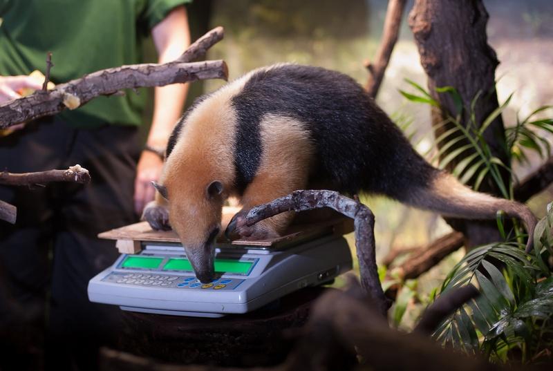 Четырехпалый муравьед Тэмми на ежегодном взвешивании и измерении животных в Лондонском зоопарке, Великобритания, 25 августа 2011 г. Фото: Oli Scarff/Getty Images