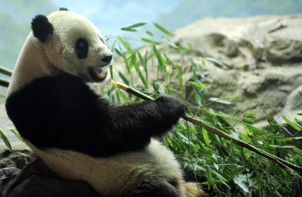 Гигантская панда по имени Тайшань любимица Национального зоопарка Вашингтона. Фото: JEWEL SAMAD/AFP/Getty Images