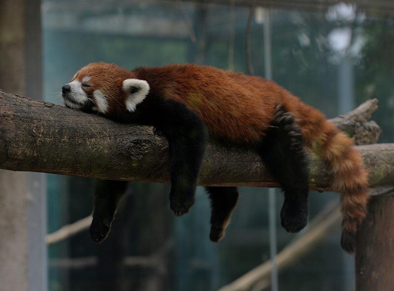 Пекин, Китай, 24 июня. Красная панда спит в вольере зоопарка. Фото: MARK RALSTON/AFP/Getty Images
