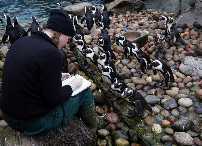 Бристоль, Англия, 2 января. Сотрудница зоопарка Пиппа Грин пересчитывает пингвинов во время ежегодной «переписи населения» зоопарка. Фото: Matt Cardy/Getty Images