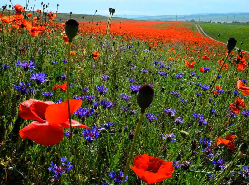 Маки цвітуть. Бахчисарайський район, Крим. Фото: Алла Лавриненко/Велика Епоха