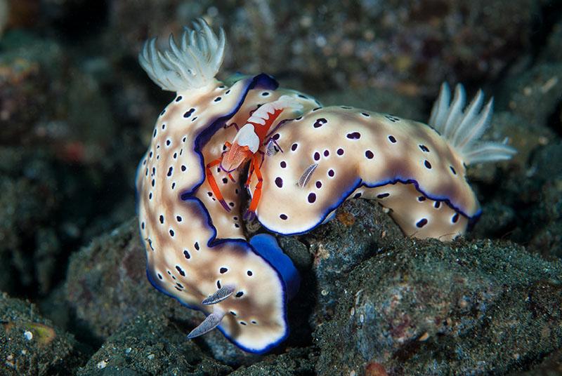 Імператорська креветка їде на голожаберних молюсках. Пляж Діна, Папуа-Нова Гвінея. Категорія «Макрозйомка», 2-е місце. Фото: Douglas Good/rsmas.miami.edu