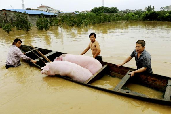 Китайские фермеры спасают своих свиней после сильных дождей, обрушившихся на г. Ланси в восточной китайской провинции Чжэцзян. Фото: STR/AFP/Getty Images
