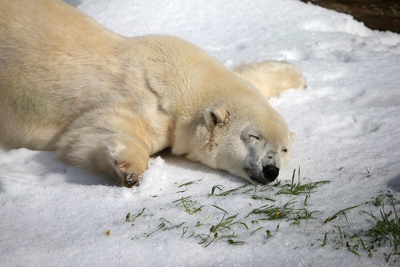 Сан-Франциско, США, 15 ноября. Белый медведь Пайк наслаждается искусственным снегом, 10 тонн которого ему подарили сотрудники зоопарка на 30-летие. Фото: Justin Sullivan/Getty Images