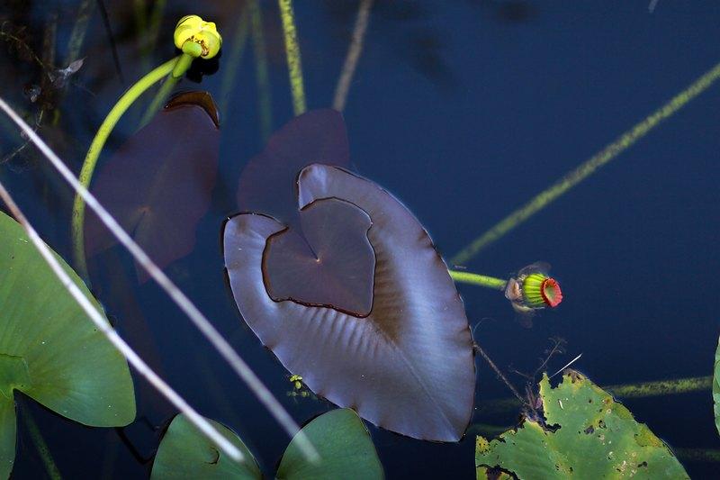 Водяная лилия. Национальный парк Эверглейдс, Флорида. Фото: Joe Raedle/Getty Images