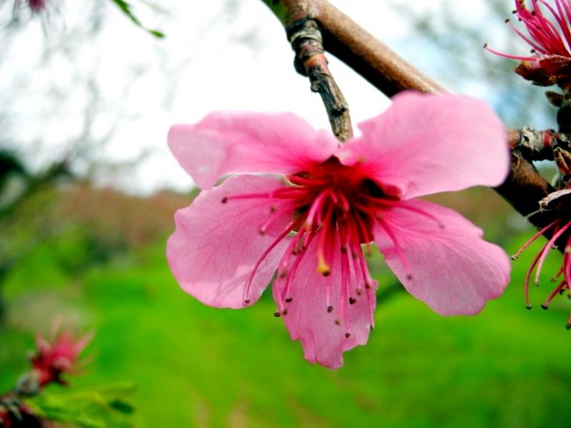 Персики розцвіли в Криму. Фото: Алла Лавриненко/Велика Епоха