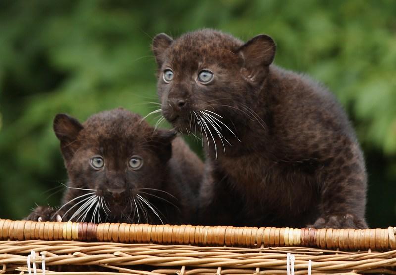 Берлин, Германия, 13 июля. В берлинском тирпарке посетителям показали двойняшек-пантер, появившихся на свет 26 апреля. Фото: Sean Gallup/Getty Images