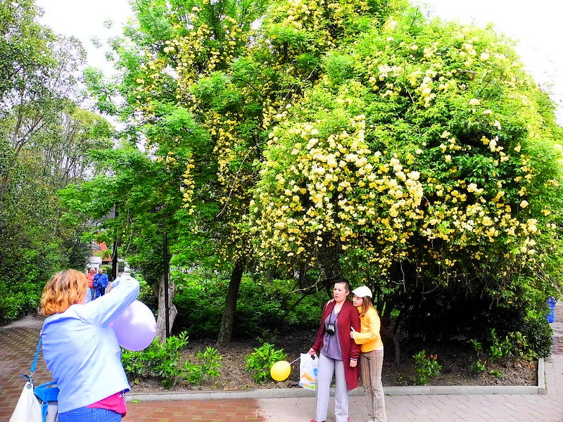 Весенняя Ялта. Плетущаяся роза. Фото: Алла Лавриненко/Великая Эпоха