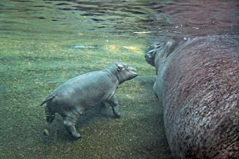 Бегемотиха Ніколь вчить дитину плавати. Фото: zoo-berlin.de