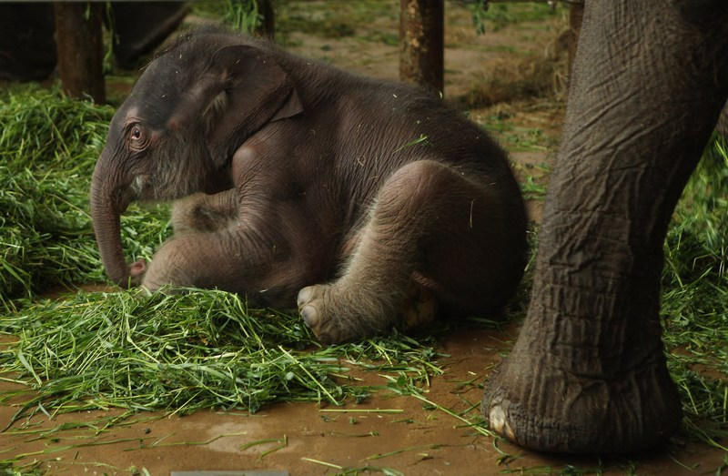 Дводенне слоненя в Берлінському зоопарку. Фото: Sean Gallup/Getty Images