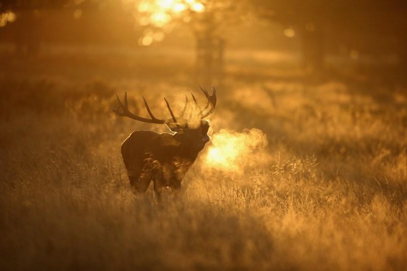 Річмонд, Англія, 10жовтня. У благородних оленів почався період «гону». Фото: Dan Kitwood/Getty Images