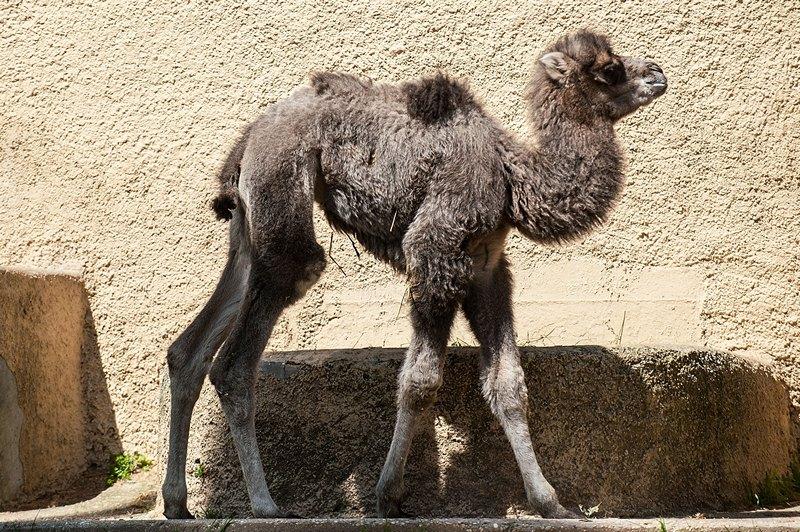 Рим, Италия, 10 апреля. Двухнедельный двугорбый верблюжонок Амелия гуляет в местном зоопарке. Фото: Giorgio Cosulich/Getty Images