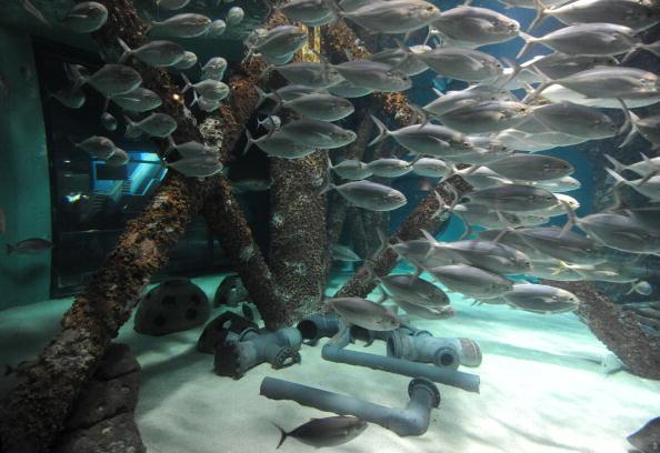 Утечка нефти в Мексиканском заливе из поврежденной буровой скважины продолжается. Подводный мир океана под угрозой гибели. Фото: MARK RALSTON/AFP/Getty Images