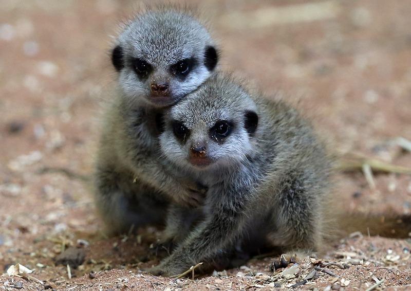Брістоль, Англія, 23 липня. Малята-сурікати, що з'явилися на світ 21 червня, бавляться в зоопарку. Фото: Matt Cardy/Getty Images
