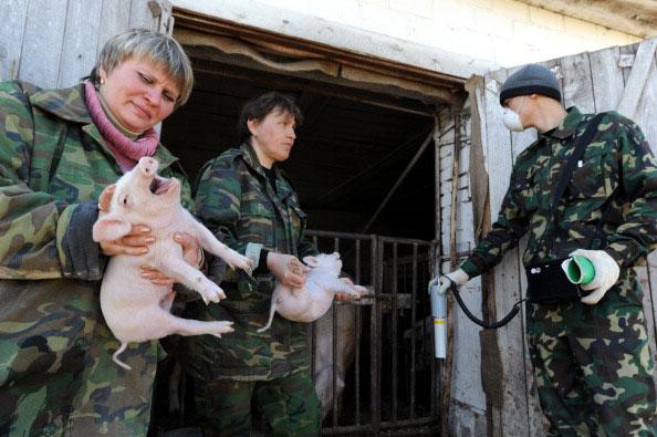 Работники государственно-экологического заповедника Беларуси измеряют уровень радиации на свиньях на ферме Воротец, расположенной около 30 киллометровой зоны отчуждения Чернобыльской АЭС 21 апреля 2011 года. (VIKTOR DRACHEV/AFP/Getty Images)