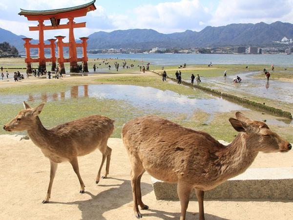 Святыня Ицукусима частично построена в воде: ее красные деревянные ворота во время прилива оказываются стоящими прямо в море. Фото: Junko Kimura / Getty Images