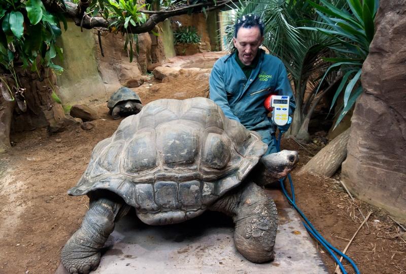 Зоолог Себастьян Грант взвешивает Дирка, галапагосскую черепаху, в Лондонском зоопарке, Великобритания, 25 августа 2011 г. Фото: Oli Scarff/Getty Images
