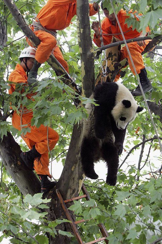Панда. Фото: Getty Images
