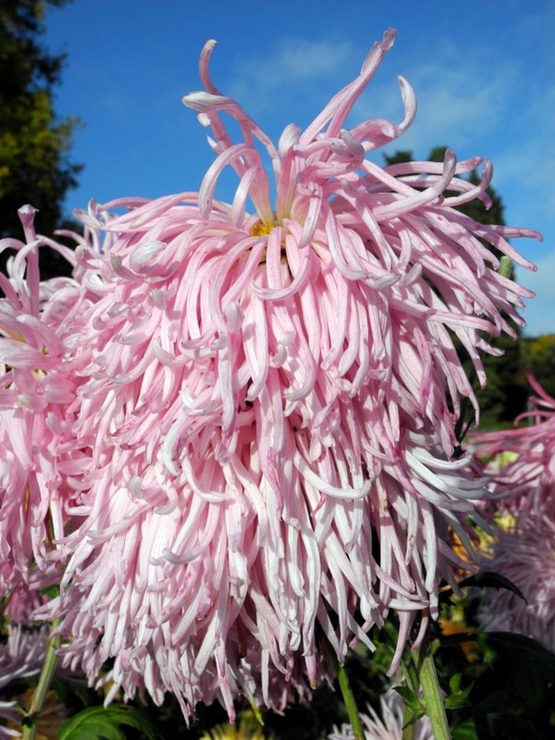 В Нікітському саду і далі цвітуть хризантеми. Фото: Алла Лавриненко/Велика Епоха