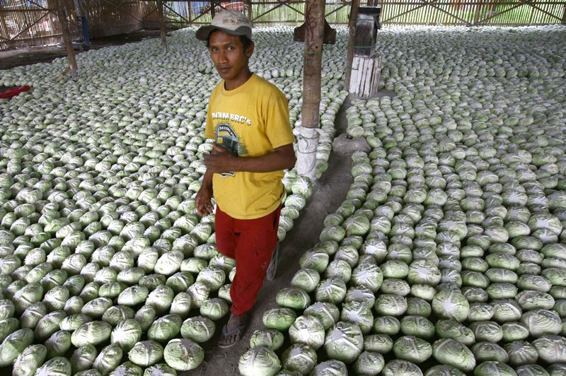 Маланг, Індонезія, 12грудня. Приміщення складу на ринку заповнене качанами капусти, які відправляться на експорт. Фото: AMAN ROCHMAN/AFP/Getty Images