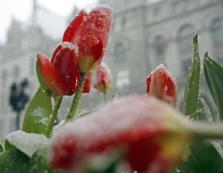 Милуоки. США. Весенние цветы покрыты редким снегом. 11 апреля 2007 года. Фото: Darren Hauck/Getty Images