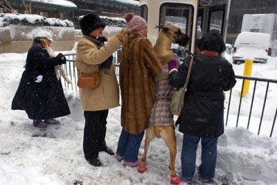 Рондоман Вероніка, з породи Великий Датчанин, та її хазяйка Доєті Маркс (ц) шукають, як пройти на Вестмінстерську виставка собак. Фото: Michael Brown/Getty Images