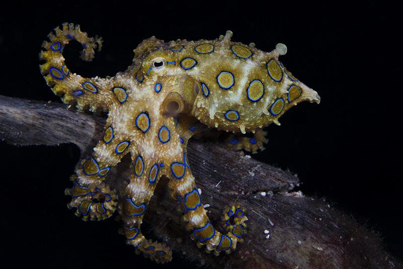 Великий синій кільцеподібний восьминіг. Одна з найбільш отруйних тварин у світі, що виробляє отруту тетродоксин. Острів Малапаскуа, Філіппіни. Категорія «Портрет риб або морських тварин», 2-е місце. Фото: Marcello DiFrancesco/rsmas.miami.edu