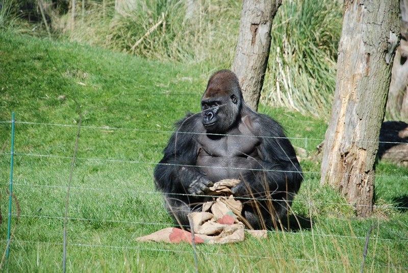 Горилла Кумбука в Лондонском зоопарке. Фото: Spadge Hainsworth/zsllondonzoo/facebook.com