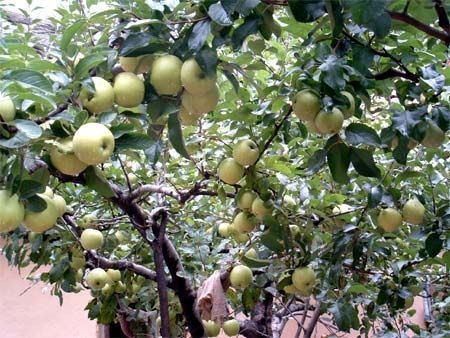 Кілька років тому одна черниця, яка проводила в горах самітництво 3 роки і 3 місяці, посадила поруч зі своїм житлом кілька яблунь. Тепер ці соковиті яблука служать їжею для відлюдників. Гори Чжуннаньшань в Китайській Народній Республіці. Фото з kanzhonggu