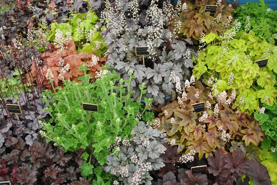 Різноманітність рослин «гейхера» на виставці квітів у Челсі. Фото: rhschelsea/facebook.com
