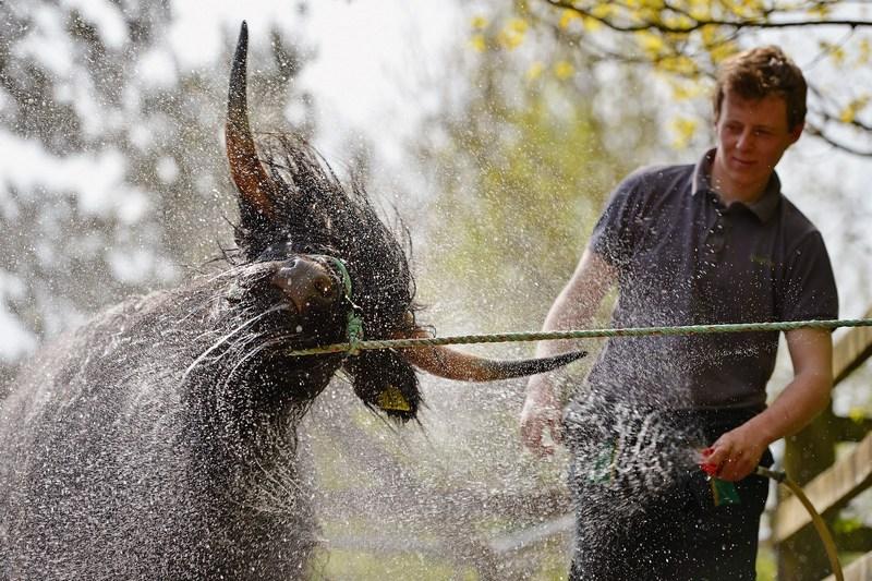 Кілмаколм, Шотландія, 22травня. Фермер Аллан Гордон купає дворічну шотландську високогірну корову. Фото: Jeff J Mitchell/Getty Images