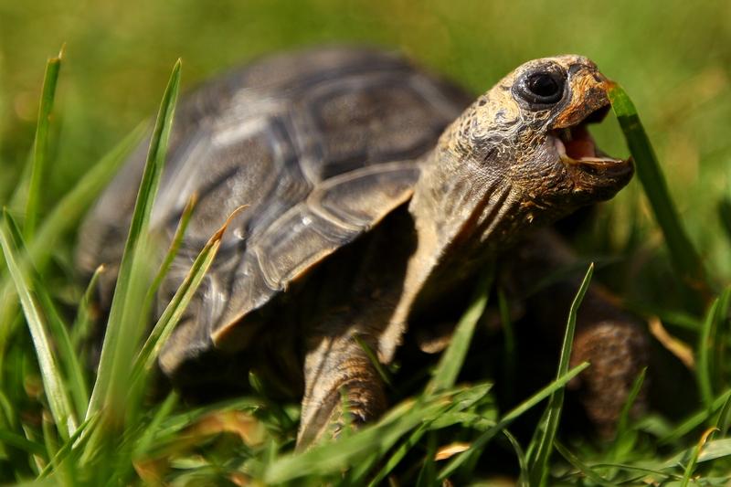 Малютка NJ харчується травою. Зоопарк «Західні рівнини Таронга». Даббо, Австралія. Фото: Mark Kolbe/Getty Images