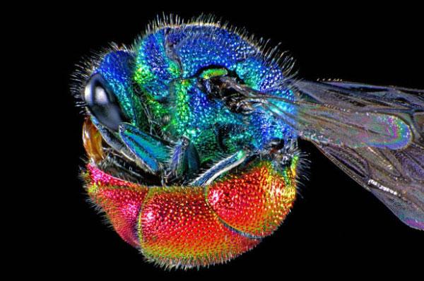 Мікрофотографія золотої оси Chrysis ignita. Цей вид комах легко упізнати за їхнім яскравим забарвленням. У випадку небезпеки оса має здатність згортатися у м'ячик. Золота оса є паразитоїдом, який зазвичай врешті убиває свого хазяїна, бджолу. Фото: life.