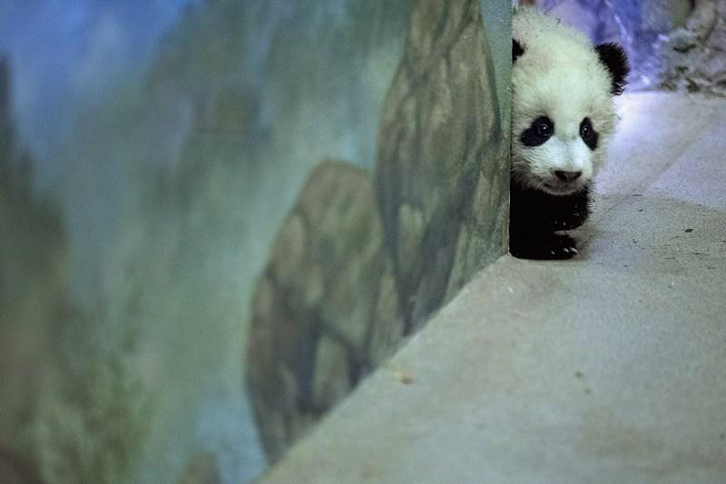 Дитинча великої панди Бао Бао. Фото: Chip Somodevilla/Getty Images