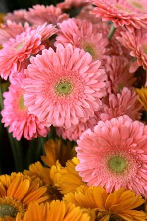 Гербери перед сортуванням в оранжереї. Після того як квіти зрізають, протягом 24 годин їх сортують за кольором, розміром і якістю, упаковують, а потім відправляють літаком до Європи. Ізраїль, 5 лютого 2007 р. Фото: David Silverman/Getty Images