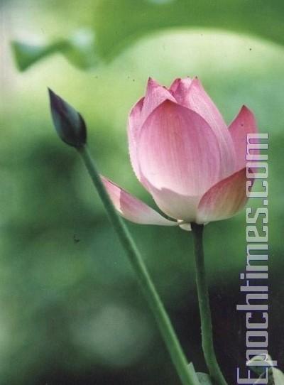 Лотос – символ непорочности и чистоты. Фото: The Epoch Times