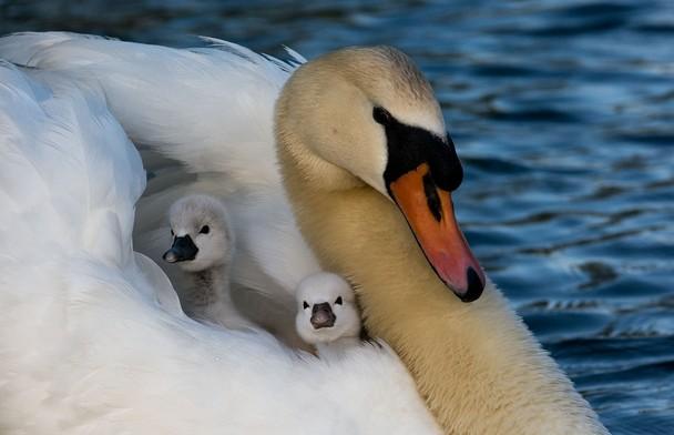 Як мило! Лебеді в парку міста Шугар-Ленд, штат Техас, США. Фото: Jerry Wasicek/travel.nationalgeographic.com
