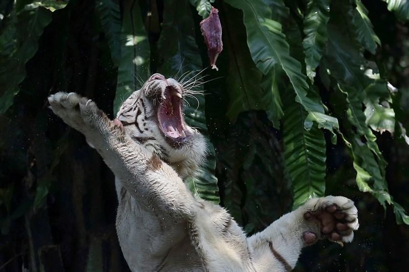 Сингапур, 27 июня. Белый тигр ловит пищу. Местному зоопарку исполняется 40 лет. Фото: Suhaimi Abdullah/Getty Images