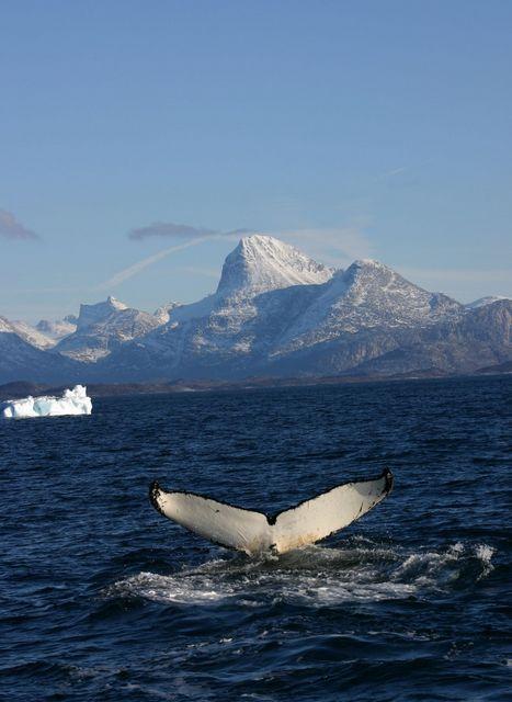 Китовый хвост: этого водного обитателя можно увидеть в окрестностях Нуука. Фото: Greenland Tourism /Anders Skov Hansen