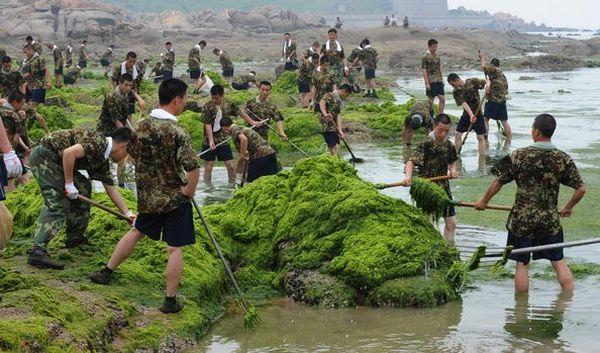 4 июля. Люди круглосуточно вылавливают зелёные водоросли из прибрежной зоны г.Циндао. Фото: AFP